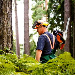 Picture of a logger, sizing up a tree in the woods