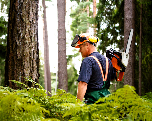 Picture of a logger with a chainsaw in the woods, sizing up the next tree to cut